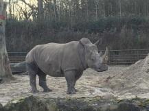 long-rhino