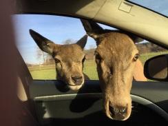 longleat-deer